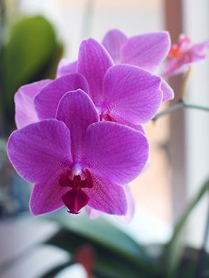 Lila/rosa orkidé från salongen